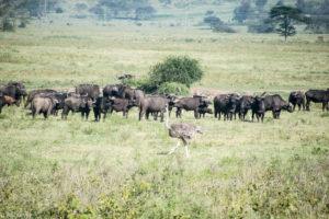 Kenya - Lake Nakuru - Big 5 - Buffalo group