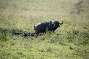 Kenya - Lake Nakuru - Big 5 - Buffalo in mud