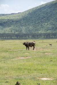 Kenya - Lake Nakuru - Big 5 - Buffalo with Thomson