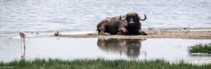 Kenya - Lake Nakuru - Big 5 - Buffalo resting in water