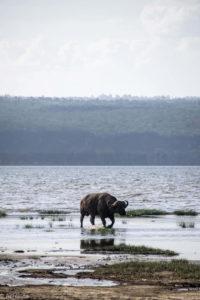 Kenya - Lake Nakuru - Big 5 - Buffalo walking in water