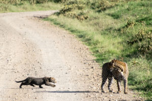 Kenya - Lake Nakuru - Big 5 - Leopard baby crossing