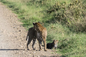 Kenya - Lake Nakuru - Big 5 - Leopard with baby crossed