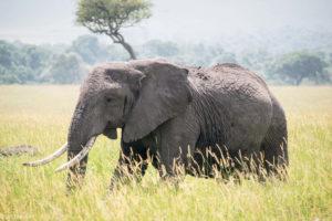 Kenya - Masai Mara - Big 5 - Elephant group member