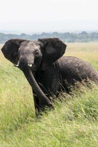 Kenya - Masai Mara - Big 5 - Elephant matriarch