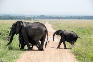 Kenya - Masai Mara - Big 5 - Elephant group with baby crossing