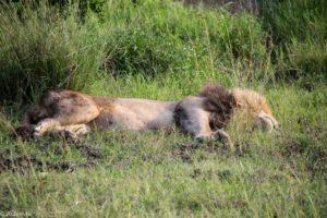 Kenya - Masai Mara - Big 5 - Lion resting