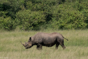 Kenya - Masai Mara - Big 5 - White Rhino solitary