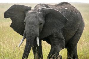 Kenya - Masai Mara - Big 5 - Elephant watching