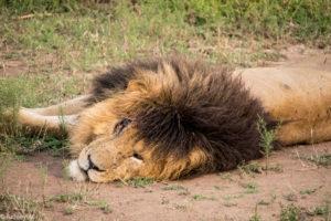 Kenya - Masai Mara - Big 5 - Lion Scar
