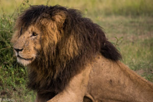 Kenya - Masai Mara - Big 5 - Lion Scar face up