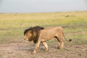 Kenya - Masai Mara - Big 5 - Lion walking