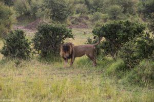 Kenya - Masai Mara - Big 5 - Lion marking