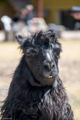 Suri Alpaca - a long hair alpaca that can be found in Peru