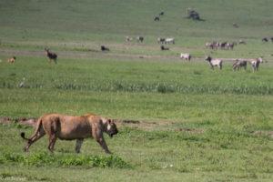 Tanzania - Ngorongoro - Big 5 - Lioness strolling