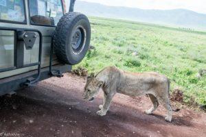 Tanzania - Ngorongoro - Big 5 - Lioness close