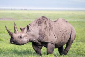 Tanzania - Ngorongoro - Big 5 - Black rhino
