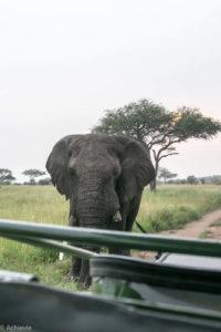 Tanzania - Serengeti - Big 5 - Elephant bull