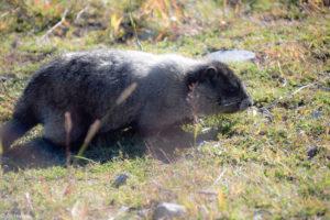 Marmot at Blackcomb Mountain - Rendez-Vous Lodge