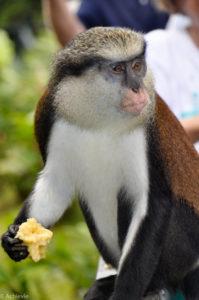 Island of Grenada, Caribbean Sea - Mona Monkey