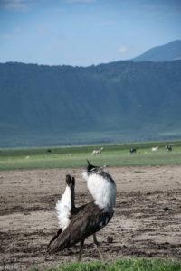 Ngorongoro Crater, Tanzania - Bustard