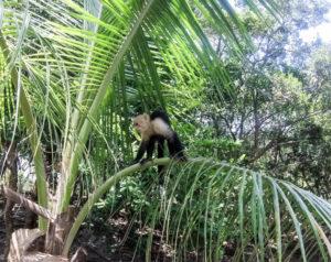 Roatan, Honduras - Capuchin monkey at nature park