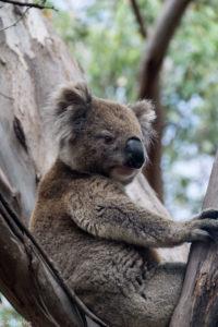 Kangaroo Island, Australia - Koala