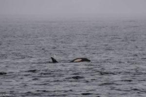 Telegraph Cove, Canada - Stubbs Island Whale watching tour - Killer whale (Orca)