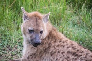 Masai Mara, Kenya - Hyena