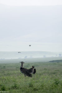 Ngorongoro, Tanzania - Bustard