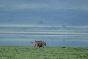 Ngorongoro, Tanzania - Common Eland