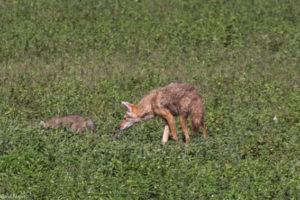 Ngorongoro Crater, Tanzania - jackal with young