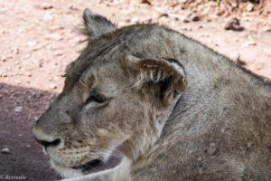 Ngorongoro, Tanzania - Lion