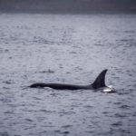 elegraph Cove, Canada - Stubbs Island Whale watching tour - Killer whale (Orca)