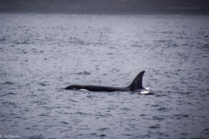 elegraph Cove, Canada - Stubbs Island Whale watching tour - Killer whale (Orca)