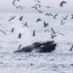 Telegraph Cove, Canada - Stubbs Island Whale watching tour - Humpback whale