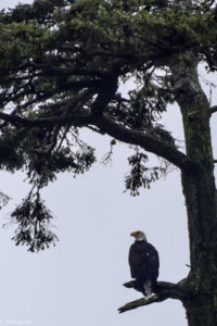 Telegraph Cove, Canada - Stubbs Island Whale watching tour - Bald Eagle