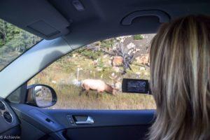 Jasper National Park, Canadian Rockies, Canada - Elk spotting