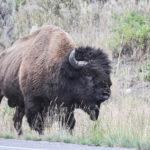 Yellowstone National Park, Wyoming, USA - bison / buffalo encounter