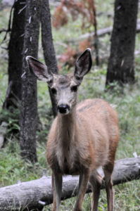 Yellowstone National Park, Wyoming, USA - Norris Geyser - Deer spotted during evening walk