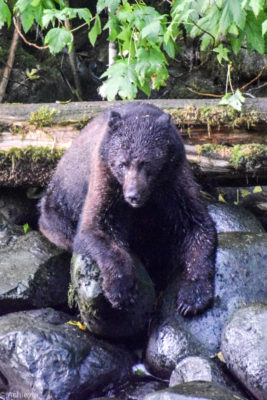 Ucluelet, Canada - Thornton Creek Hatchery - Black bear spotting