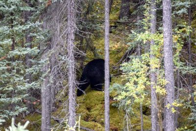 Jasper National Park, Canada - Miette Road - Black bear spotting