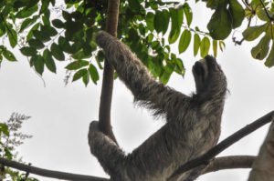 Colon, Panama - Gatun Lake - Eco tour by boat - Spotting sloth
