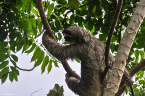 Colon, Panama - Gatun Lake - Eco tour by boat - Spotting sloth