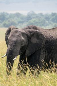 Masai Mara, Kenya - Safari - Game drive - Elephant spotting