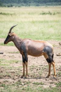 Masai Mara, Kenya - Safari - Game drive - Topi spotting