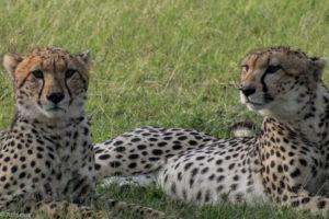 Masai Mara, Kenya - Safari - Game drive - Cheetah spotting