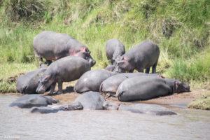 Masai Mara, Kenya - Safari - Game drive - Hippo spotting