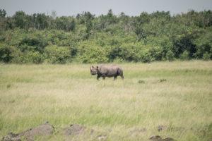 Masai Mara, Kenya - Safari - Game drive - White rhino spotting
