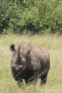 Masai Mara, Kenya - Safari - Game drive - White rhino spotting